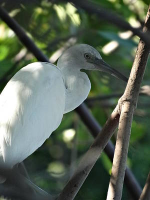 Photograph - Little Immature Blue Heron by Frederic BONNEAU Photography