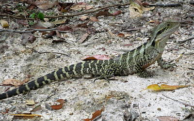 Lizard  Print by Joyce Woodhouse