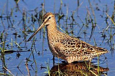 Photograph - Long-billed Dowitcher by Ira Runyan