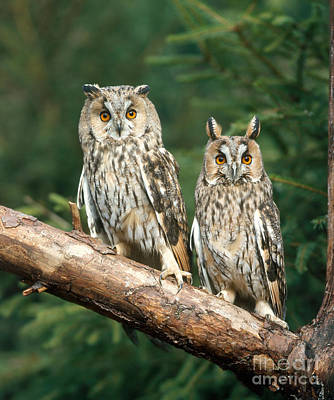 Photograph - Long-eared Owl by Hans Reinhard
