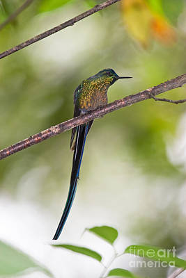 Long-tailed Sylph Photograph - Long-tailed Sylph by Jean-Luc Baron