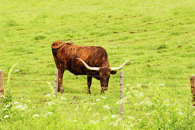 Longhorn Photograph - Longhorn Grazing In Green Pasture by Piperanne Worcester