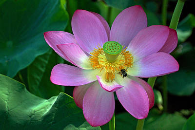Photograph - Lotus Flower by Jerry Gammon