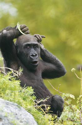Gorilla Photograph - Lowland Gorilla by Art Wolfe