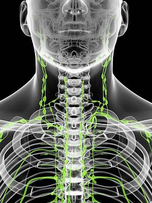 Human Head Photograph - Lymph Nodes In Neck by Sciepro