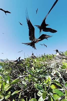 Magnificent Frigatebirds Art Print by Christopher Swann