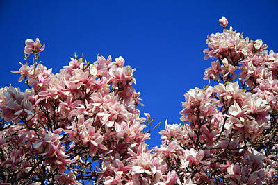 Photograph - Magnolias In Blue by Cora Wandel