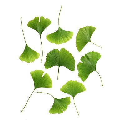 Gingko Wall Art - Photograph - Maidenhair Leaves by Science Photo Library