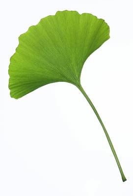 Gingko Wall Art - Photograph - Maidenhair Tree (ginkgo Biloba) Leaf by Pascal Goetgheluck/science Photo Library
