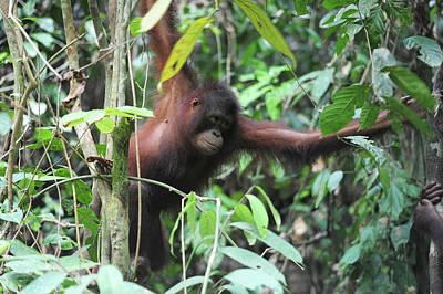 Malaysia, Borneo, Sepilok, Orangutan Art Print