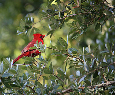 Photograph - Male Cardinal by Terri Mills