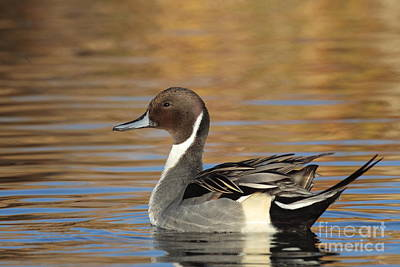 Male Pintail Art Print by Ruth Jolly