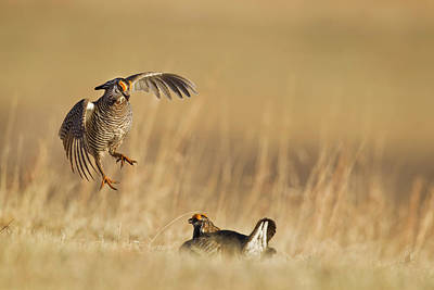 Loup Photograph - Male Prairie Chickens At Lek In Loup by Chuck Haney
