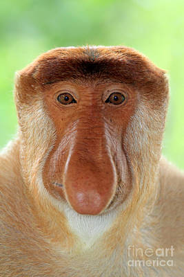 Photograph - Male Proboscis Monkey by Sohns Okapia