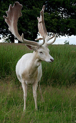 Male White Fallow Deer Art Print by Nigel Downer