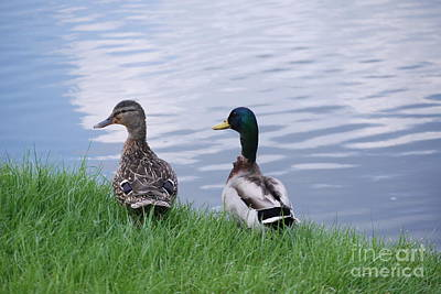 Photograph - Mallard Couple by Mark McReynolds