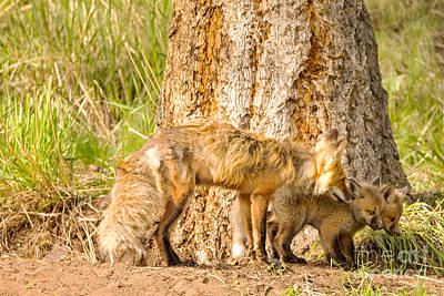Yellowstone Photograph - Mama Fox And Kits by Natural Focal Point Photography