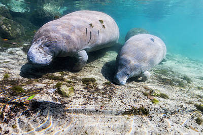 Photograph - Manatee With Calf In Crystal River by Jennifor Idol