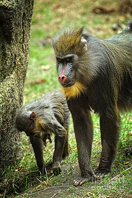 Mandrill Photograph - Mandrill by HD Connelly