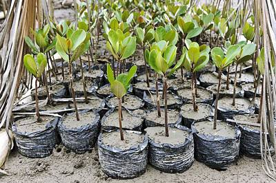 Mangrove Rehabilitation, Indonesia Art Print by Science Photo Library