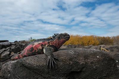 Marine Iguana Photograph - Marine Iguana (amblyrhynchus Cristatus by Pete Oxford