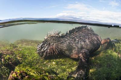 Marine Iguana Photograph - Marine Iguana Feeding On Algae Punta by Tui De Roy