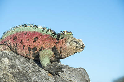 Marine Iguana Male In Breeding Colors Art Print by Tui De Roy