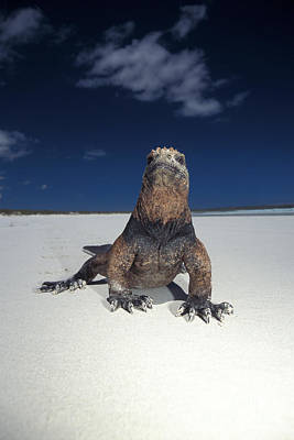 Galapagos Wildlife Photograph - Marine Iguana by Mark Newman