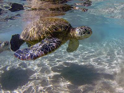 Maui Turtle Art Print by James Roemmling