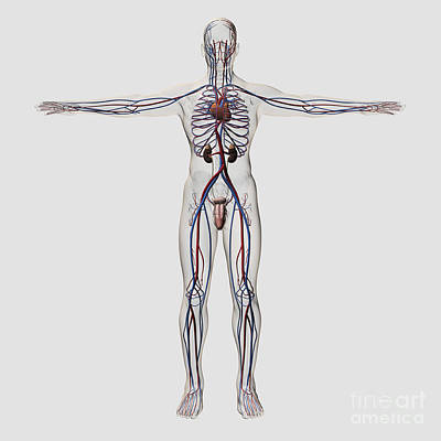 Medical Illustration Of Male Print by Stocktrek Images