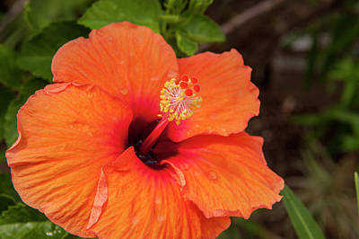 Mallow Photograph - Mexico, Cozumel, Hibiscus by Jim Engelbrecht