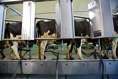 Milking Photograph - Milking Parlour by Jim West