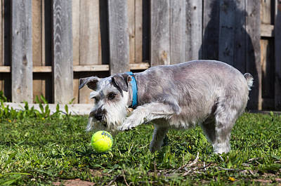 Photograph - Miniature Schnauzer by Michael Chatt