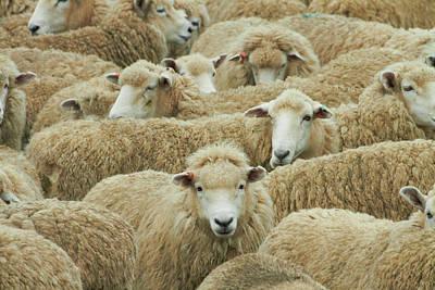 Mob Of Sheep, Catlins, South Otago Art Print