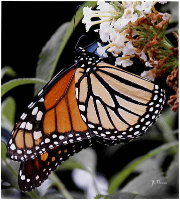 Photograph - Monarch Butterfly by James C Thomas