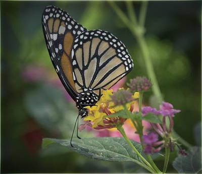 Photograph - Monarch Butterfly  by Saija  Lehtonen