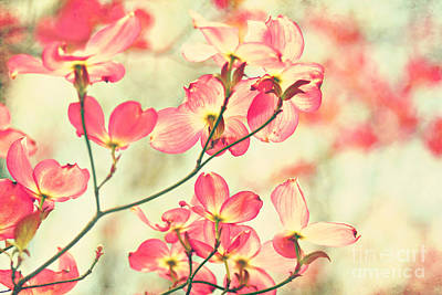Dogwood Blossom Photograph - Morning Light by Sylvia Cook