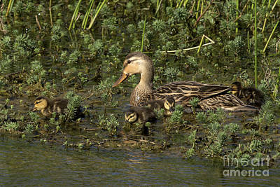 Photograph - Mallard/mottled Duck Family by Meg Rousher