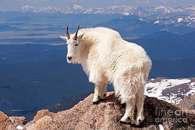 Photograph - Mountain Goat On Mount Evans by Fred Stearns