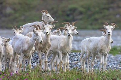 Mountain Goats Along Kongakut River Art Print