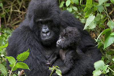 Mountain Gorilla And Infant Art Print by Suzi Eszterhas