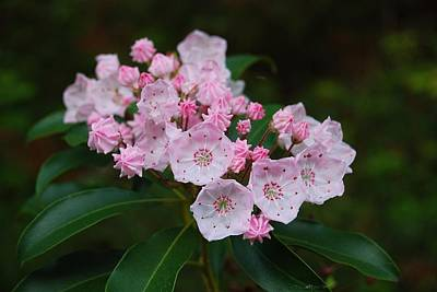 Mountain Laurel Photograph - Mountain Laurel by Todd Hostetter