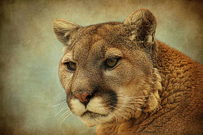Photograph - Mountain Lion by Steve McKinzie