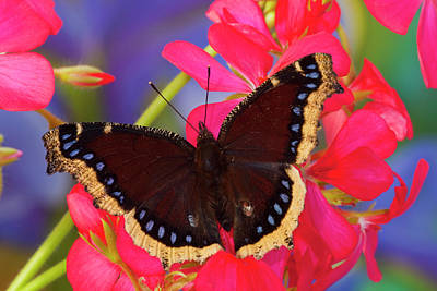Mourning Cloak Butterfly, Nymphalis Art Print by Darrell Gulin
