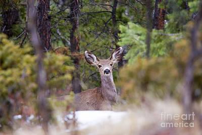 Steven Krull Royalty-Free and Rights-Managed Images - Mule Deer Doe by Steven Krull