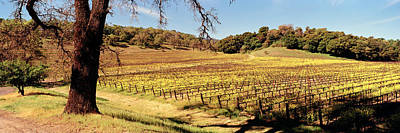 Napa Photograph - Mustard Flowers In A Field, Napa by Panoramic Images