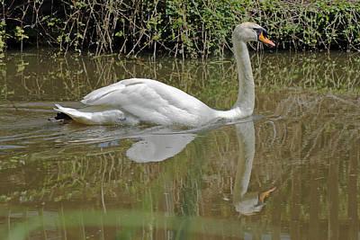 Photograph - Mute Swan by Tony Murtagh