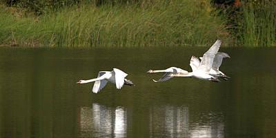Mute Swans In Flight Art Print