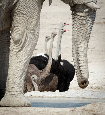 Namibia, Etosha National Park, Nebrowni Art Print by Jaynes Gallery