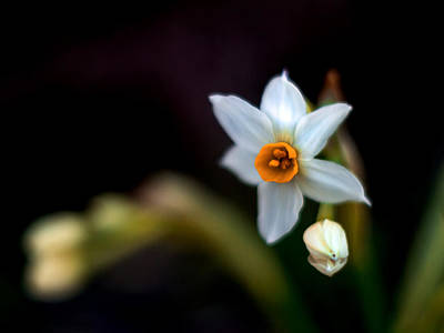 Daffodils Photograph - Narcissus Tazetta by Stelios Kleanthous